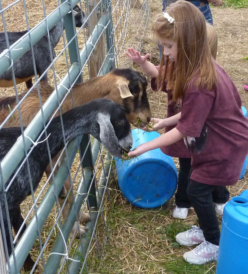 A girl feeding grass to a pair of goats