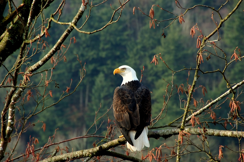 A bold Eagle sitting on a tree branch