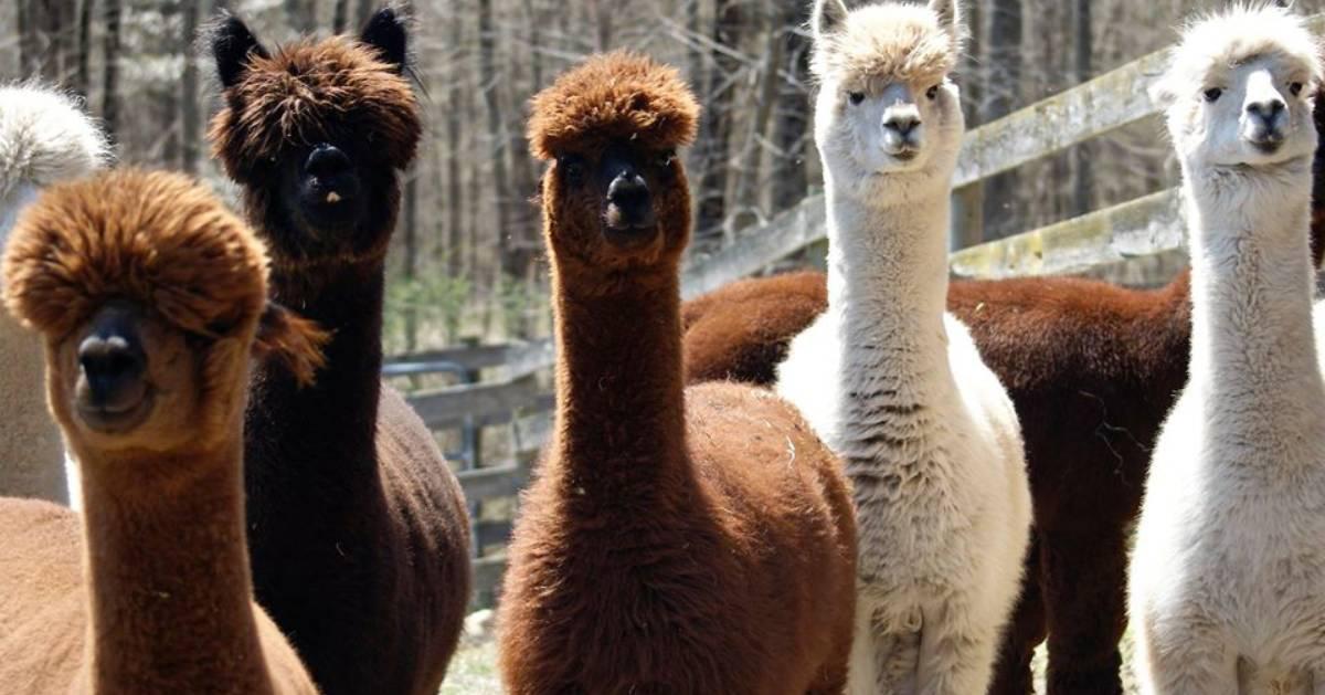 group of alpacas